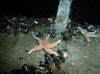 Sea stars, cup corals and brittle stars in the North Sea