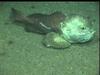 Psychrolutid fish offshore Nigeria