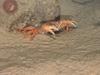 Geryon crabs