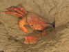 Geryon crab burrowing