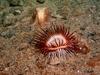 Cerianthid and Octopus