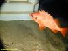 Rosefish