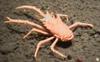 Squat Lobster (Galatheid)