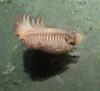 Sea Pen (Pennatulea)