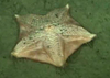 Sea star (Hymenaster)