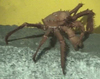 Lithodid Crab