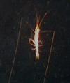 Prawn (Plesopenaeus sp.)