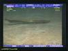 Longnosed eel