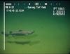 Centroscyllium fabricii. Black dogfish.