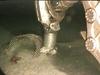 Ceranthid anemone capture