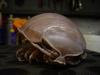 Bathynomus giganteus - Giant Isopod