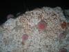 Echinus esculentus