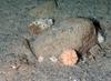 Large plumose anemone