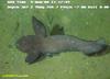 High fin tadpole fish