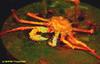 Paramola crab