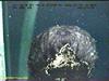 Benthothurian sea cucumber