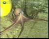 Octopus (Muusoctopus johnsonianus? or new species) from Gulf of Mexico