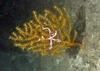 Ophiuroidea