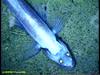 Abyssal lizardfish