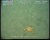 Lithodid crab (Paralomis cristulata?) from Usan