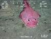 Coffinfish