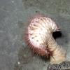 Actinoscyphia sp.