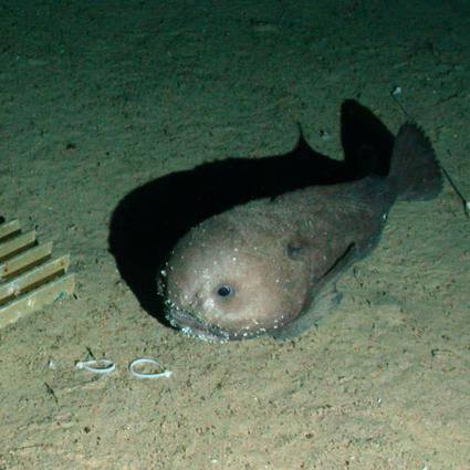 .SERPENT Media Archive - Blobfish