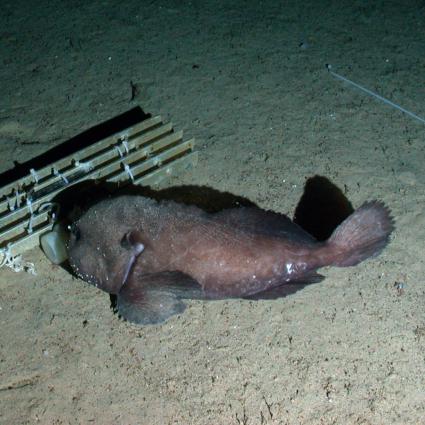 Blobfish habitat map