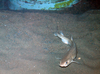 Small spotted catshark/Lesser-spotted dogfish
