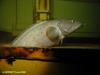Cusk fish