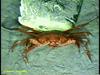 Geryon crab