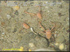 Squat lobster
