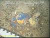 Blue sponge (Hymedesmia sp)